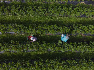 Mother and daughter picking strawberries on a field - PSIF00382