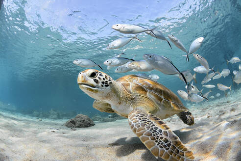 Fishes And Turtle Swimming In Sea - EYF04733
