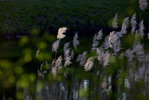 Germany, Reeds growing in spring at dusk - JTF01547