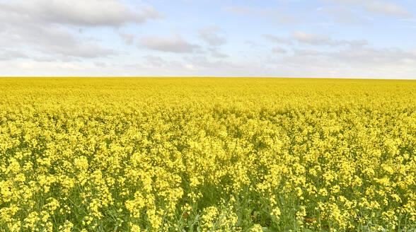 Blooming canola field, Swellendam area, South Africa - VEGF01913