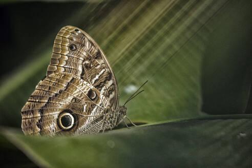Owl butterfly on a leaf, Iguazu, Brazil - DSGF01983
