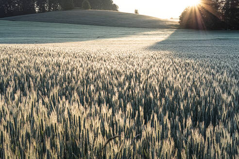 Germany, Bavaria, Berg, Rye (Secale cereale) field at sunrise - WFF00344