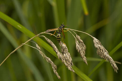 Germany, Close-up of potter wasp (Ancistrocerus parietum) perching on blade of grass - ZCF00974