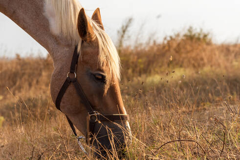 Horse grazing in a pasture with grass. - CAVF80446
