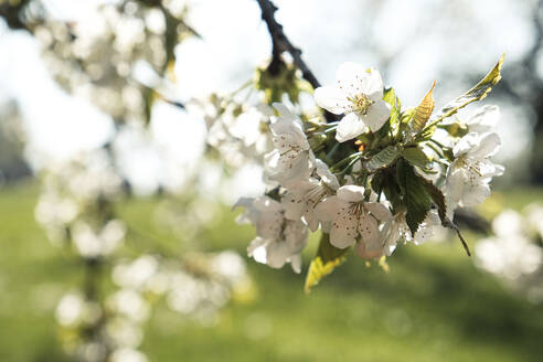 Close-up of apple blossoms on tree during springtime - WFF00380