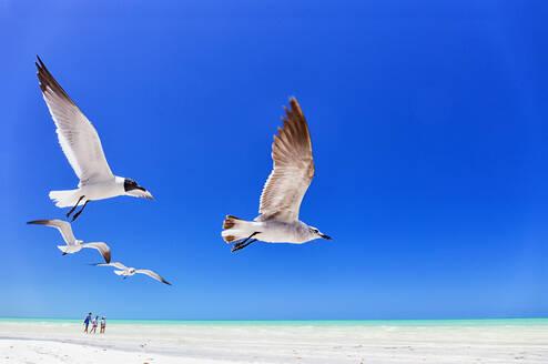 Seagulls flying against clear blue sky at Holbox island, Quintana Roo, Yucatan, Mexico - DSGF02017