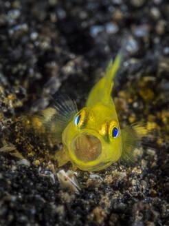 Indonesia, Underwater portrait of yellow clown goby (Gobiodon okinawae) - TOVF00190