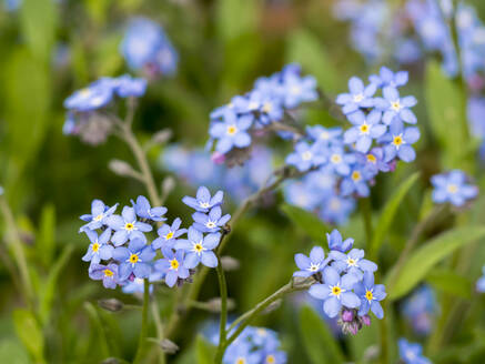 Germany, Close-up ofwood forget-me-nots(Myosotis sylvatica) blooming in Upper Palatinate Forest - HUSF00137