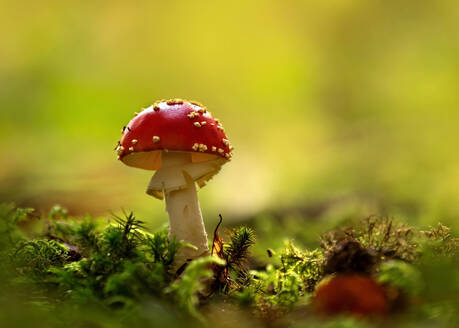 Close-up of fly agaric (Amanita muscaria) mushroom growing in forest - BSTF00144