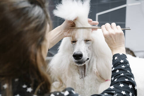 Crop view of woman combing white Standard Poodle - JCZF00054