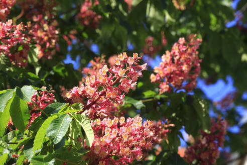 Germany, Blossoming chestnut tree branches in spring - JTF01561