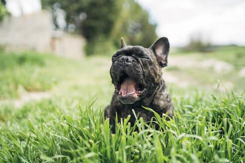 Portrait of yawning bulldog lying on a meadow - OCMF01211
