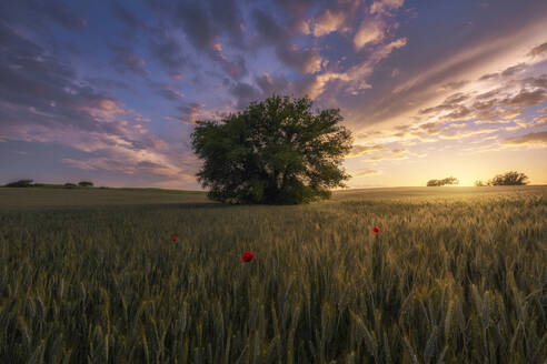 Italy, Tuscany, Tree growing in vast meadow at dramatic sunset - RPSF00304