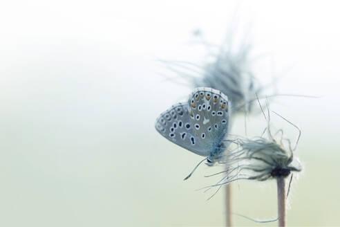 Gossamer-winged butterfly perching on wildflower - BSTF00150