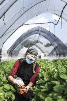 Woman wearing face mask while harvesting strawberries at greenhouse - MCVF00341