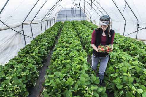 Smiling mature woman holding containers with fresh organic strawberries at greenhouse - MCVF00344