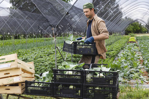 Organic farmer with harvested kohlrabi in box - MRAF00533