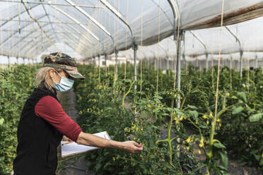 Female farm worker with surgical mask checking the growth of organic tomatoes in a greenhouse - MCVF00369
