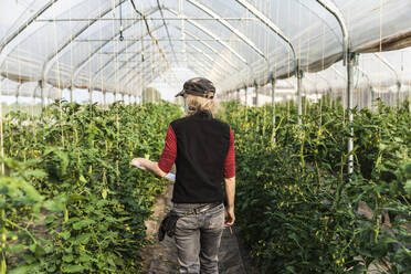 Female farm worker with surgical mask checking the growth of organic tomatoes in a greenhouse - MCVF00372