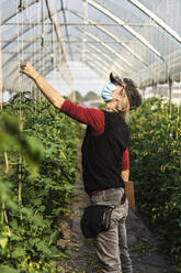 Female farm worker with surgical mask checking the growth of organic tomatoes in a greenhouse - MCVF00375