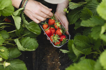 Male hand holding plastic bowl with freshly picked strawberries, organic agriculture - MRAF00556