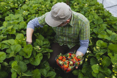 Farmer picking strawberries, organic farming - MRAF00565