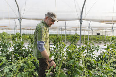 Farmer in the greenhouse with organic cultivation of tomatoes - MRAF00571