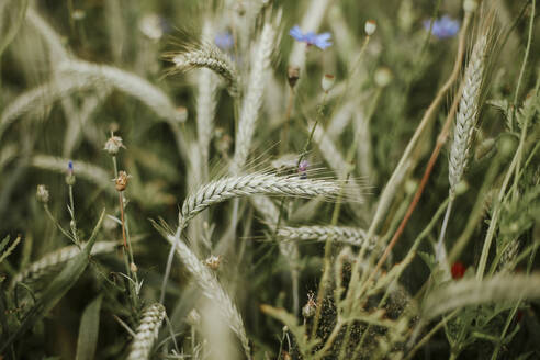 Wheat and field flowers - VBF00063