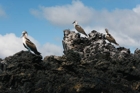 A group of blue footed booby sit on top of lava rocks in the Galapagos - CAVF81579