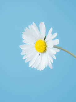 Close up of a single daisy isolated on a pastel blue background, sprin - CAVF82108