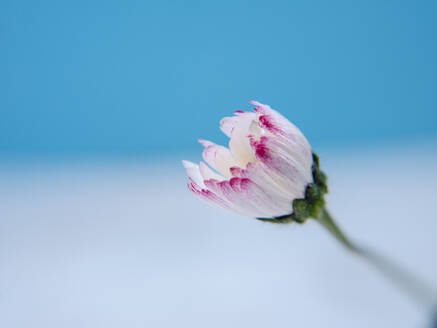 One unopened daisy on blue background, blossoming concept - CAVF82111