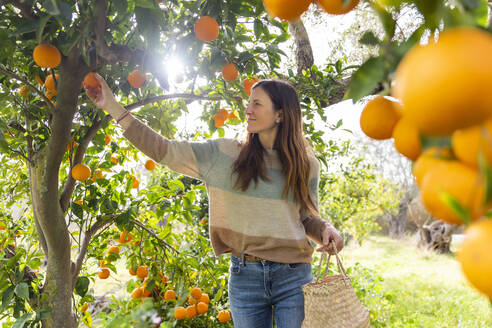 Mid adult woman picking oranges while standing in organic farm - LVVF00030