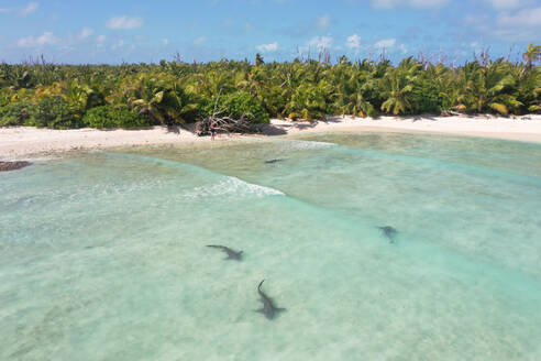 Aerial view of nurse shaarks swimming at Farquahr atoll in Seychelles - AAEF08688