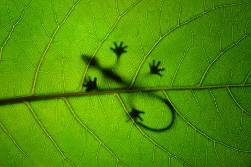 Shadow Of Gecko On Leaf - EYF05035