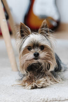 Yorkshire Terrier lying on rug at home - JMHMF00067