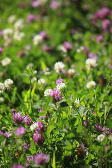 Germany, Saxony,Close-up of white and pink blooming clovers - JTF01582