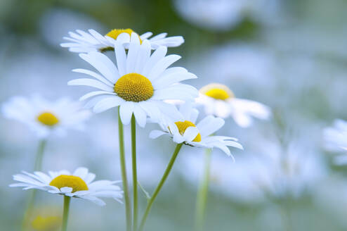 Oxeye daisies in bloom - BSTF00184