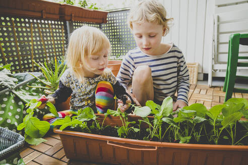 Blond boy and girl harvesting homegrown radish in balcony - IHF00360