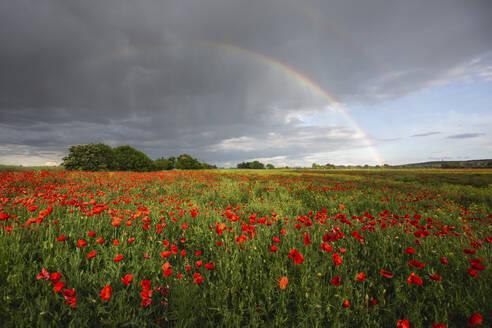 Poppy field with rainbow on sky - ASCF01393