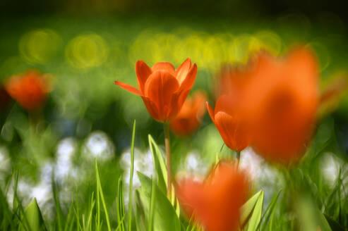 Red tulips blooming in meadow - ELF02153