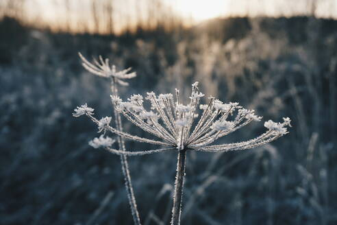 Close-Up Of Frozen Plant - EYF07112