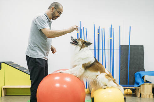 border collie dog doing trainning exercices in a physiotherapist dogs center - GMLF00255