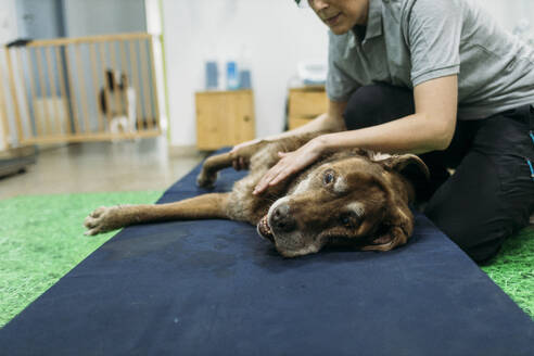 old labrador retriever dog reciving a massage in a physiotherapist dogs center - GMLF00273