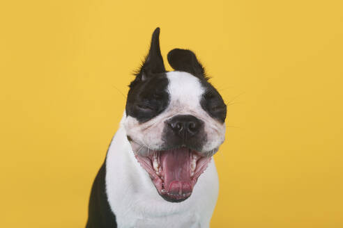Portrait of boston terrier puppy yawning in front of yellow background - RTBF01481
