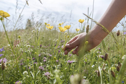 Girl's hand picking buttercup flowers from a meadow - EYAF01187