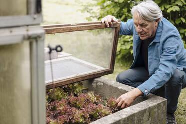 Senior man checking lettuce at a greenhouse - GUSF04180