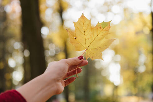 Crop view of lady's hand holding yellow maple leaf in autumn forest in sunny day - ADSF00147