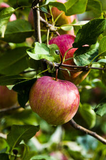 Red apple on tree branch - NGF00566