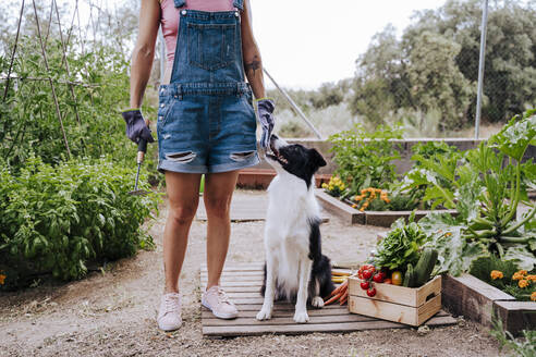 Woman with border collie standing in vegetable garden - EBBF00410