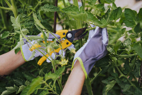 Close-up of woman hands cutting leaf vegetables in garden - EBBF00413